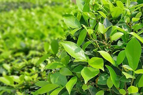service-tree-shrub-care